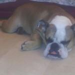 brutus bulldog inglese
