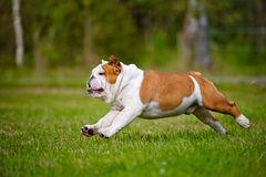 addestramento bulldog onglese