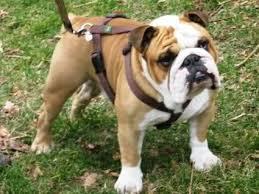 addestramento bulldog inglese