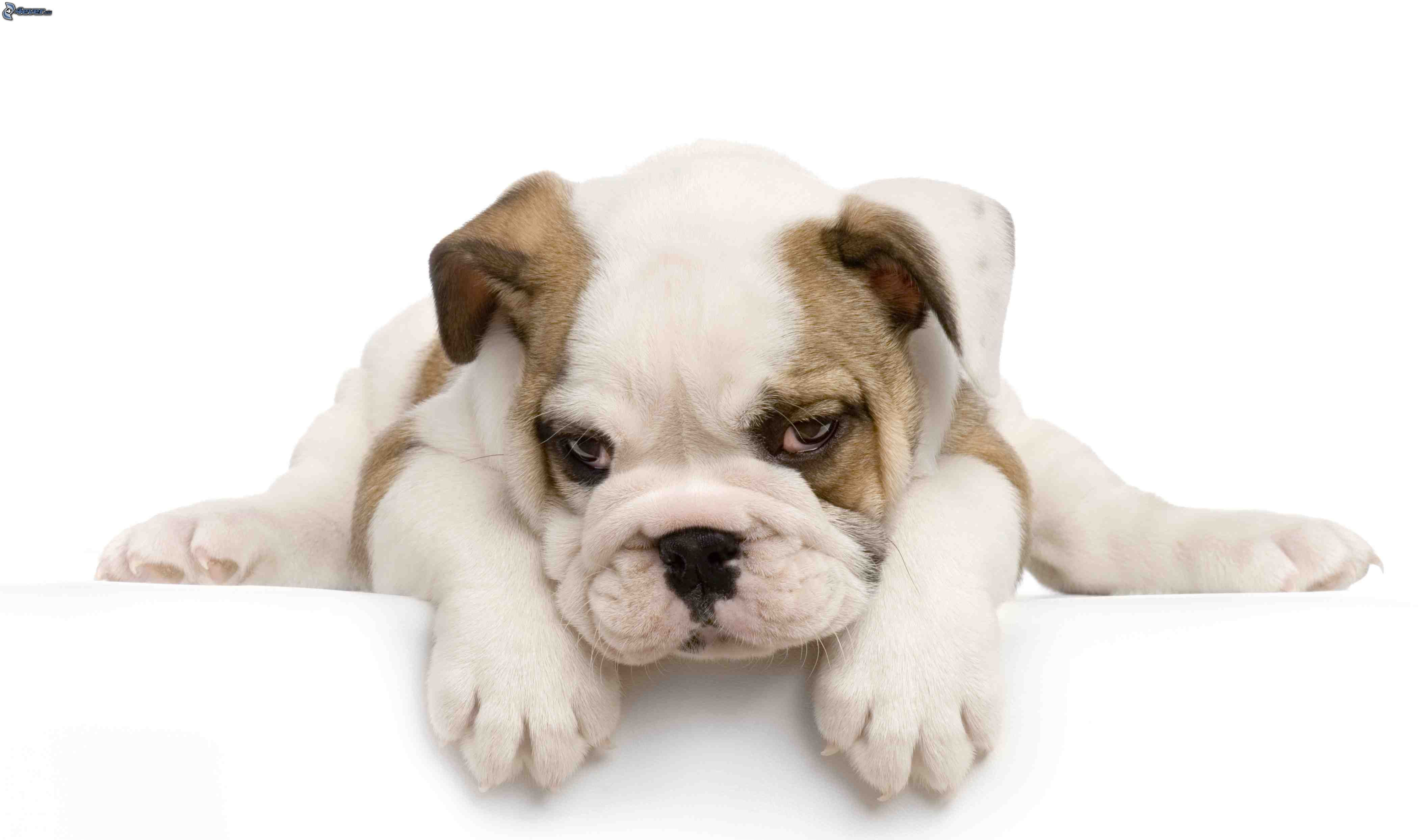 nomi bulldog inglese femmina