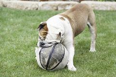 bulldog inglese che gioca
