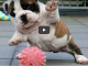video simpatico bulldog inglese