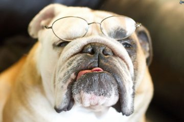 bulldog-inglese-occhiali
