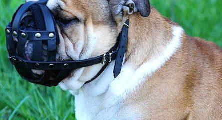 museruola bulldog inglese