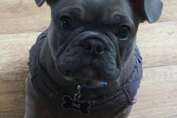 Bulldog inglese grigio