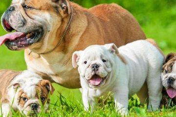 Peso bulldog inglese