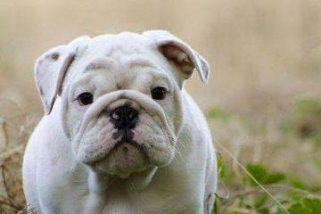 bulldog inglese bianco