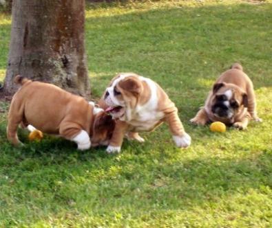 Bulldog inglese colori