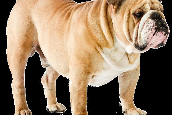 Bulldog inglese taglia grande