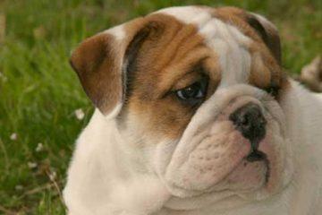 Incrocio bulldog inglese