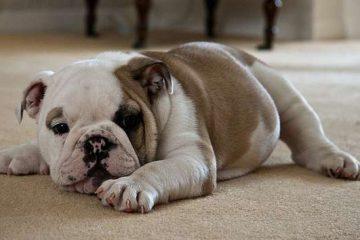 Standard bulldog inglese