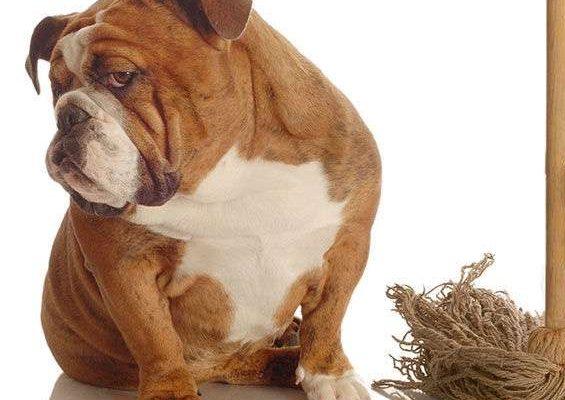 Come eliminare l'odore di pipì del cane