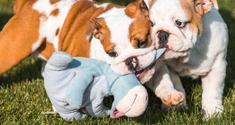 Come educare un bulldog inglese